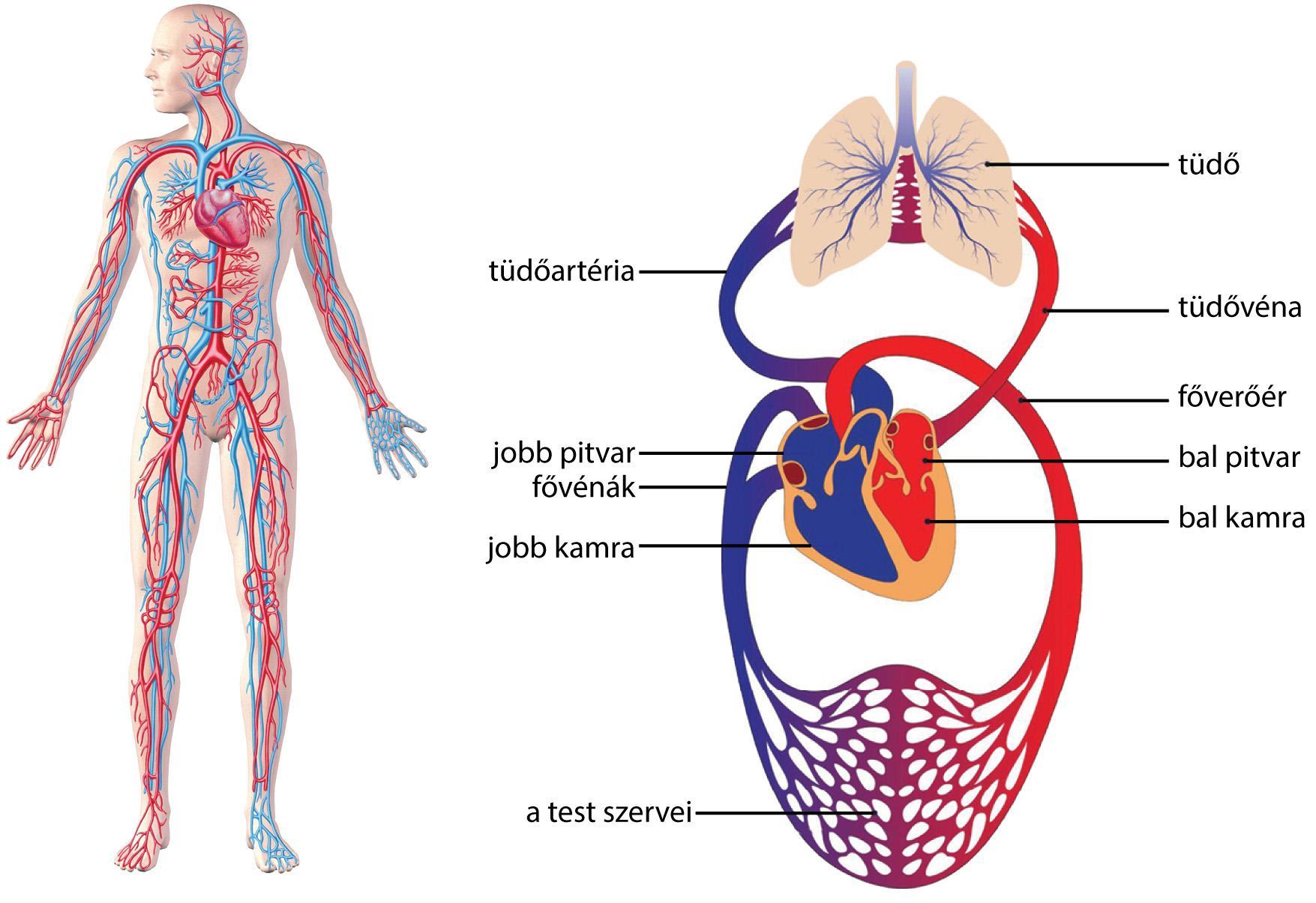 a pulmonalis keringés magas vérnyomása)