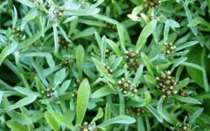 hipertóniát kezelő növények)