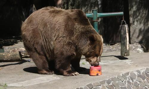 magas vérnyomás és medve)