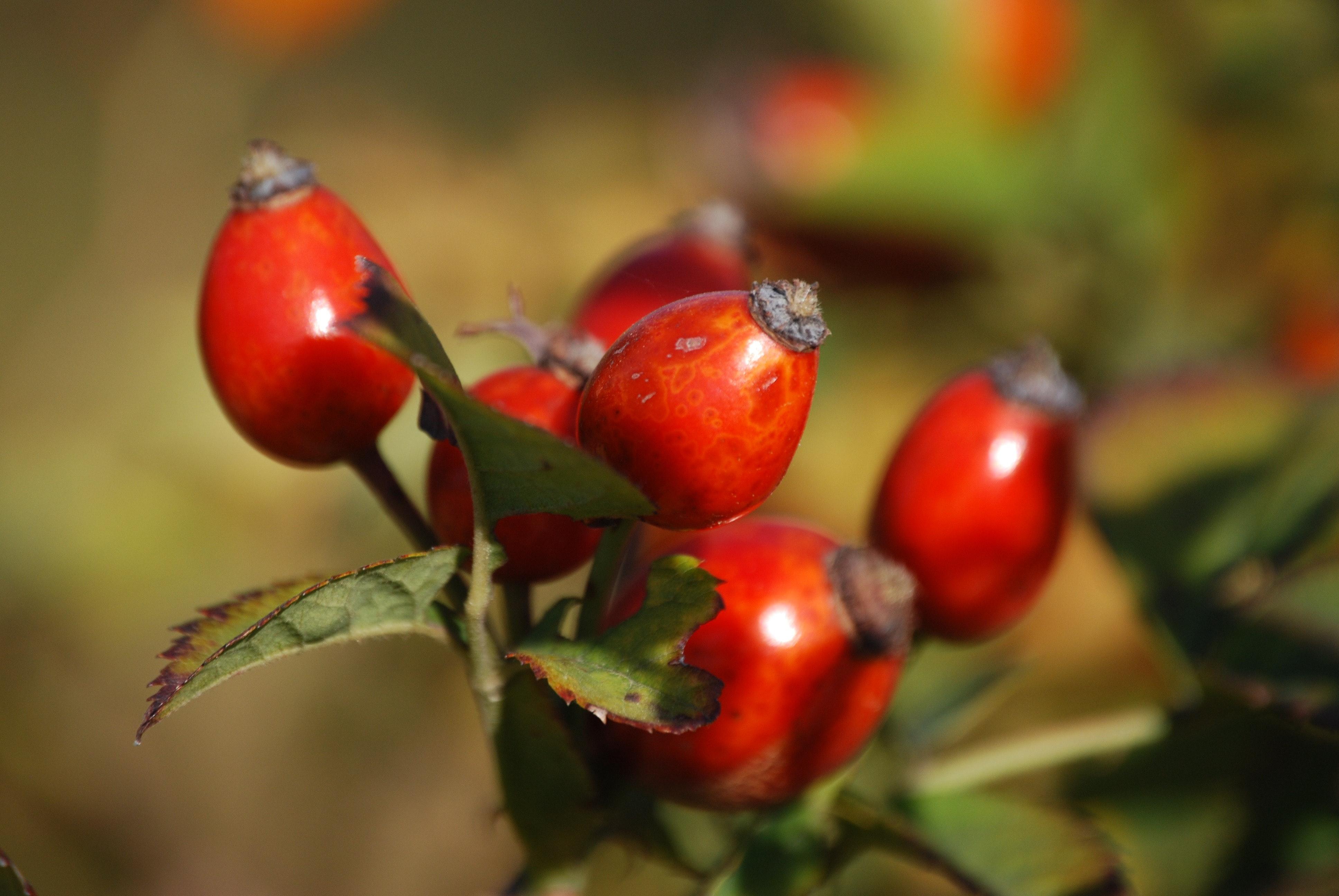 A csipkebogyó növeli vagy csökkenti a nyomást?
