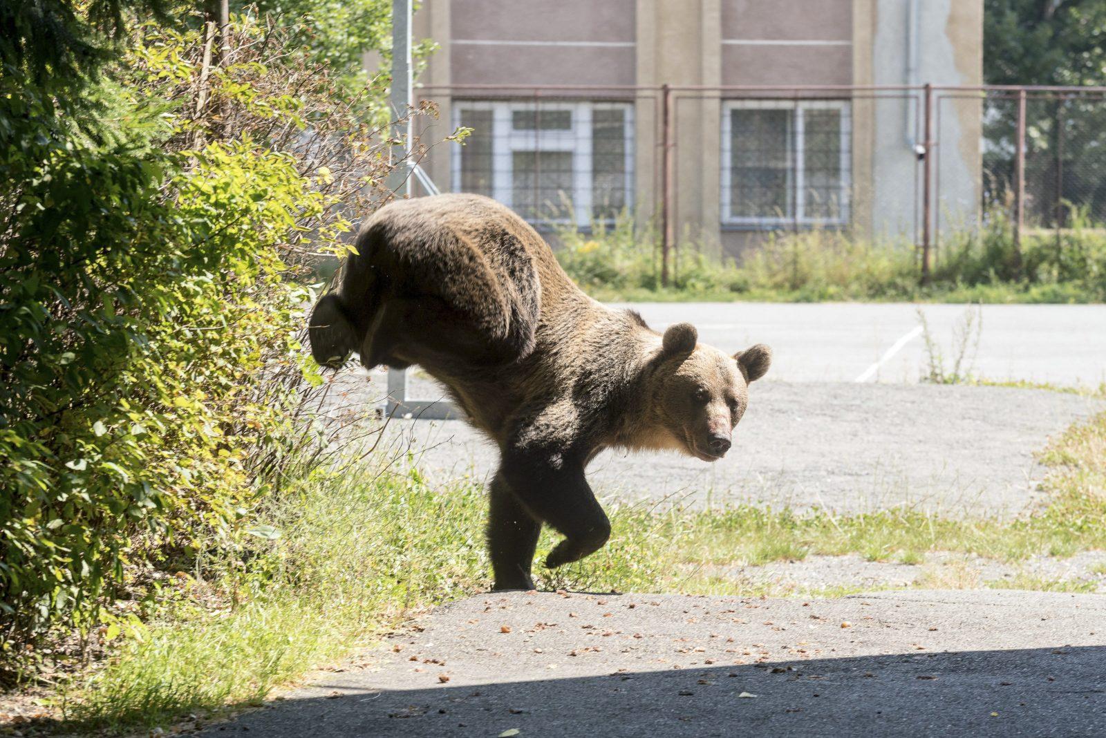 magas vérnyomás és medve