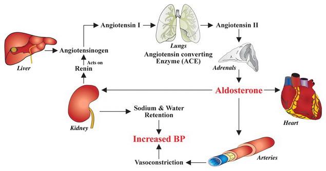 magas vérnyomás mechanizmus)