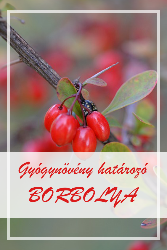 borbolya és magas vérnyomás)