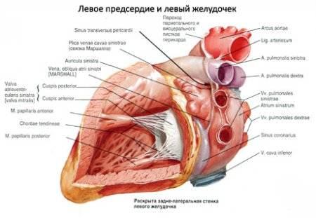 szívméret hipertóniában magas vérnyomás esetén fogyatékosságot adjon