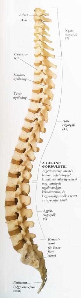 magas vérnyomás és a gerinc)